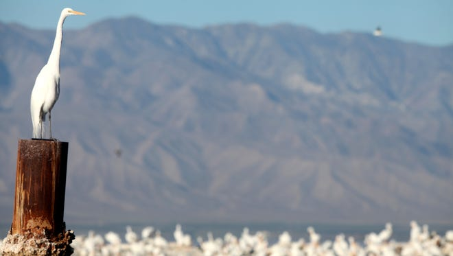 Birds congregate along the shore of the Salton Sea, which is considered a critical stopover along the Pacific Flyway for many migrating birds.