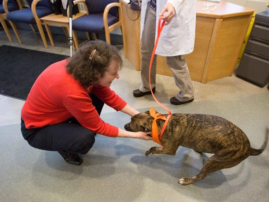Eve Good greets Tigger, a two-year-old Staffordshire terrier mix, on Saturday, Nov. 5, 2016, at Oregon State UniversityÕs College of Veterinary Medicine's small-animal hospital in Corvallis. Tigger was released from the hospital following a surgery to correct the first of two birth-deformed front legs.