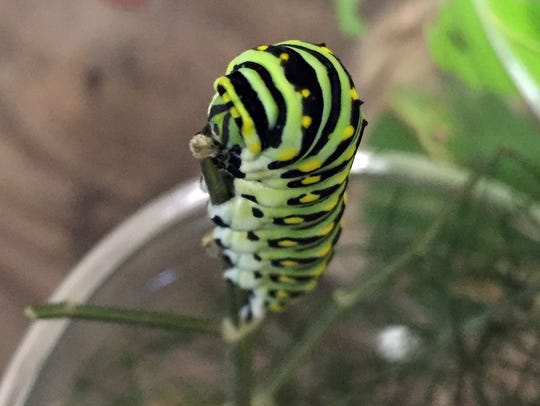 A spice bush caterpillar at the Rockland Country Club