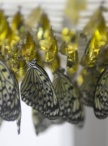 Paper kite butterflies emerge from their chrysalises at Butterfly Wonderland on the Salt River Reservation just east of Scottsdale.
