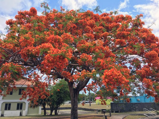 A flame tree in bloom in the heart of Hagåtña.
