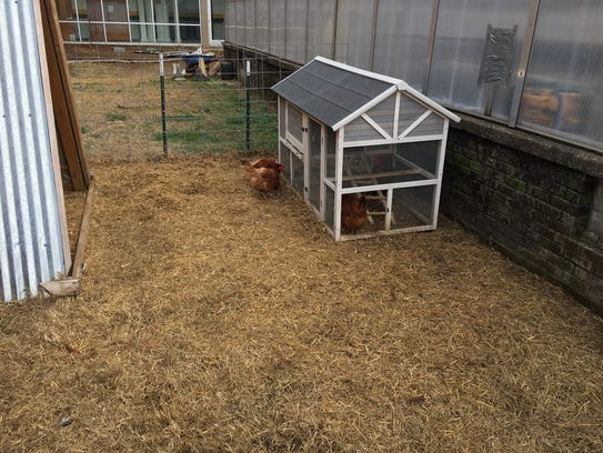 Students help raise the chickens and collect the eggs.