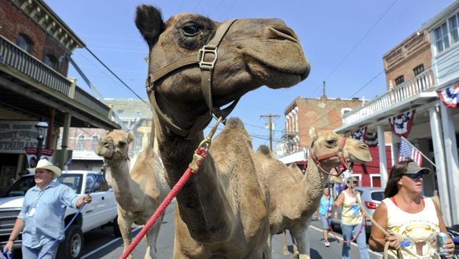 Camels parade down main street on the first day of the International Camel Races in Virginia City in 2013.