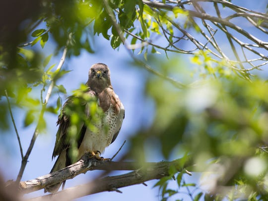 A Swainson's hawk has returned one of its favorite