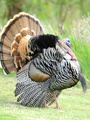 A gobbler struts his stuff in this file photo.