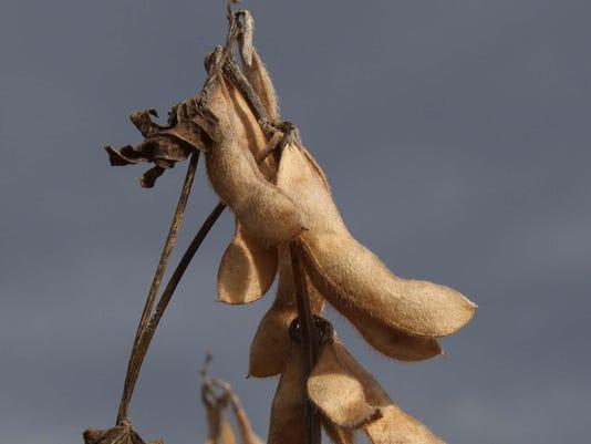 farm- Soybean.jpg