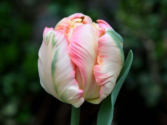 fea- Tulip Bloom.jpg