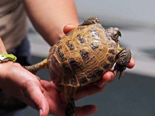 A Russian tortoise in the hands of Monterey Zoo assistant Angie Krall