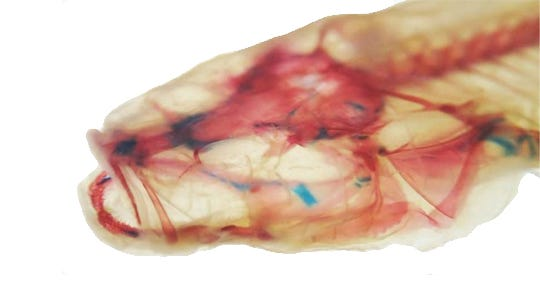 Scientists named a new species of cavefish, A. hoosieri, after Indiana University.
