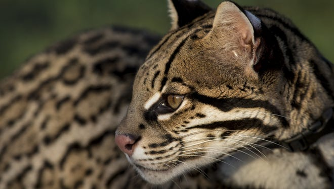 Sihil, the Cincinnati Zoo's Cat Ambassador Program's ocelot, during her morning walk at Cactus Creek Ranch near Rio Hondo, Texas.
