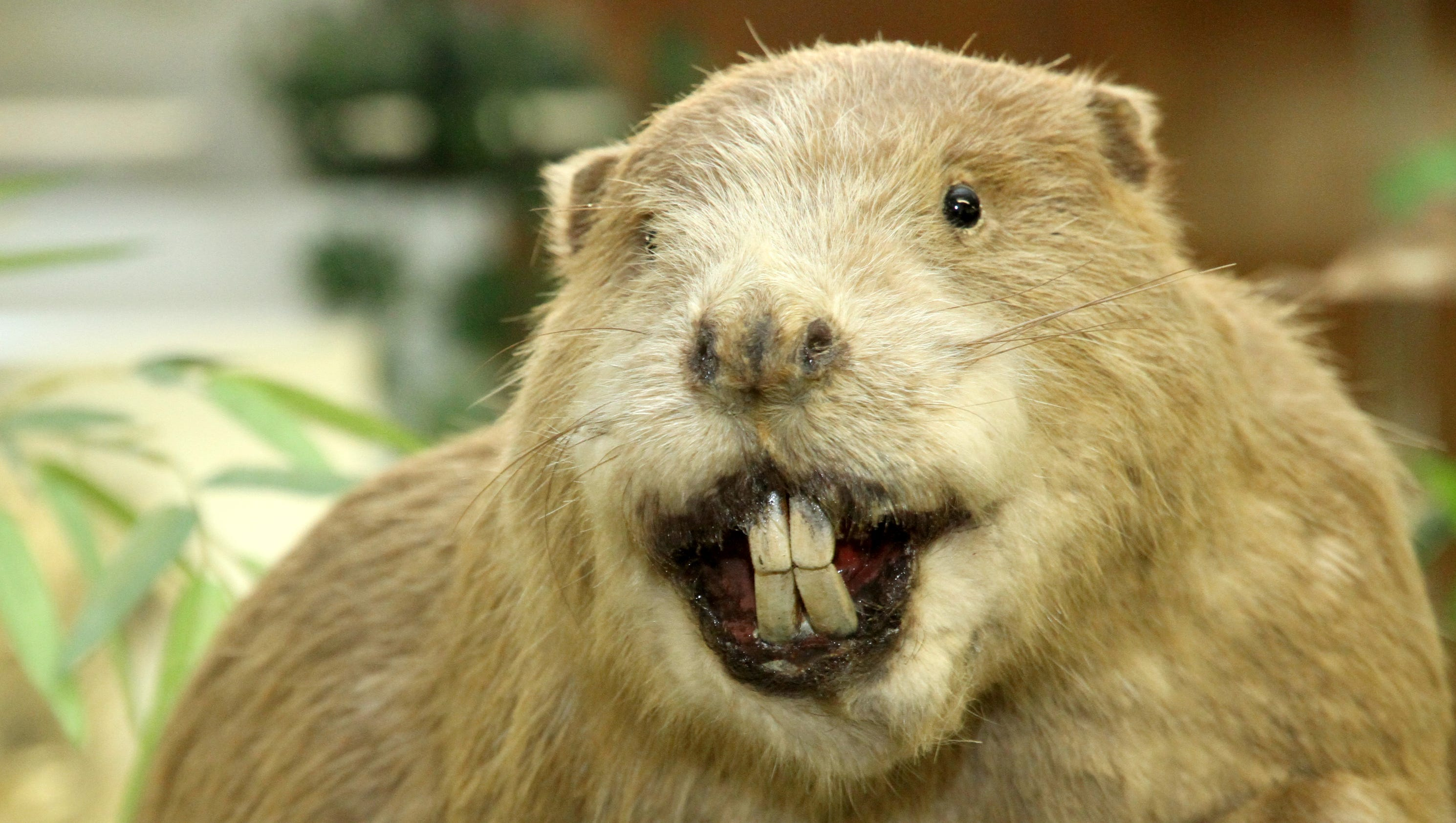 Now In Stock Canada >> Beaver that attacked paddle boarder in N.C. was rabid