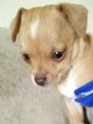 """This two-month-old Chihuahua puppy has been reported missing in the neighborhood behind Terrazas Funeral Home. The puppy has been a member of the family for only two weeks and was a Christmas gift to children in the home. He answers to the name """"Pee Wee"""" and was let out into a fenced yard with two adult dogs, but never came back indoors. If you have information on """"Pee Wee's"""" whereabouts call 575-571-1375. If you have him, please return – no questions asked."""