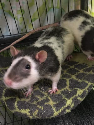 Comet and Cupid, the fancy rats, are available for adoption at the Oshkosh Area Humane Society