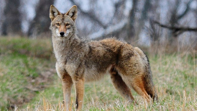 The Ohio Department of Natural Resources says a coyote is generally a slender animal, similar in appearance to a medium-sized dog. The majority of coyotes are gray, though some show rusty, brown or off-white coloration. It has a bushy tail which is usually tipped with black. Coyotes are most active at dawn and dusk but may be seen frequently throughout the day.