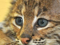 A baby bobcat hands out Wednesday at Florida Wildlife Hospital & Sanctuary in Palm Shores.