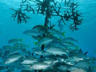 Protecting and restoring Bonaire's coral reefs