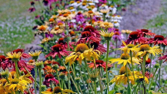 Coneflowers fill the beds of the once-famous rose garden at the Secrest Arboretum on the Wooster campus of the Ohio State University. A three-year trial will determine which variety of coneflower grows best in the Wayne County soil.