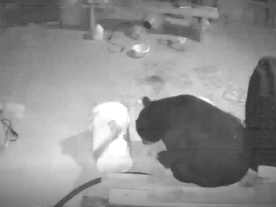 An east Milton resident captured surveillance footage of a bear eating dog food and drinking peanut oil underneath his home on Sunday in the Ward Basin area.