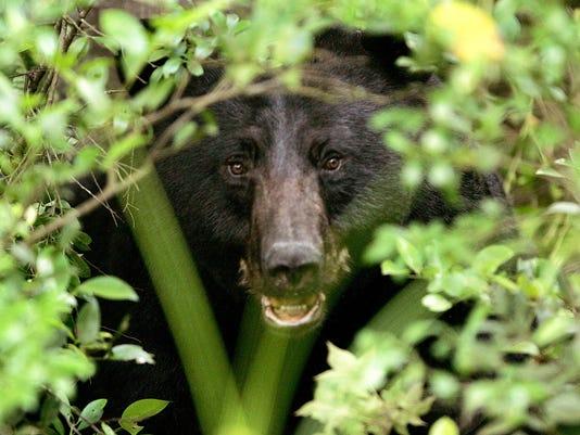 BUR 0831 bears