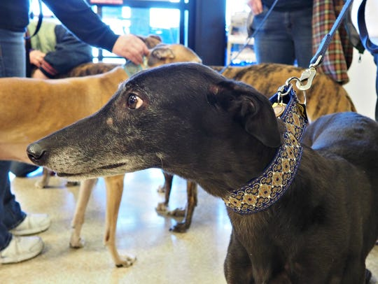 """A Greyhound named """"Onyx,"""" owned by Robyn and Larry"""