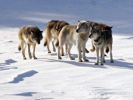 636188852152201545-DFP-0417-wolves-3-.j-1-1-7NAHM6IA-L597682223.JPG