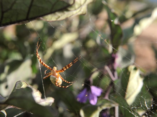 Garden spiders help out in the garden by eating pesky