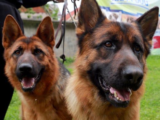 2. German shepherds • 2016 rank: 2 • 2007 rank: 3 •