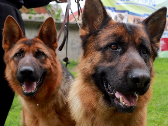 German shepherds are one of the most popular dog breeds in the U.S.