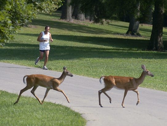 Deer are common in Cincinnati's Mount Airy Forest,