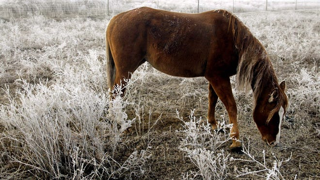 A horse grazes on a frosty landscape Friday morning southeast of Brandon along Interstate Highway 380 in 2002.