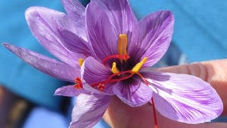 Saffron crocus contains red stigmas that are harvested from the flower and dried into the spice saffron.