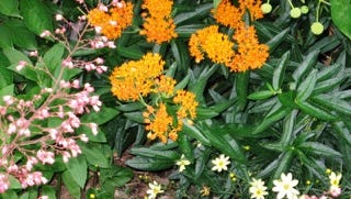 This is butterfly weed, recommended for natural landscaping.
