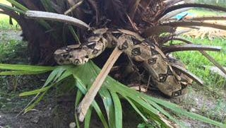 This is Sheila. She is missing. The Lee County Sheriff's Office is searching for Sheila the snake.