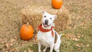 Winnie, ID A166678, is a 3-year-old spayed white and brown pit bull mix who has been at the shelter since July.