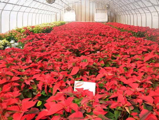 This season, the Hastings operation has 19 temperature controlled greenhouses filled with colorful poinsettia plants.