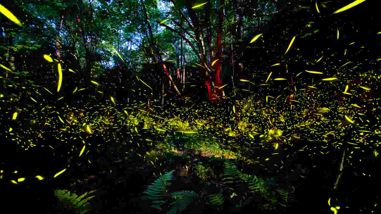 spot blue ghost fireflies around asheville in pisgah dupont forests