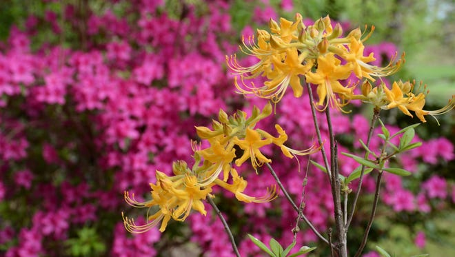 Woody plants, such as these evergreen and native azaleas, can be planted any time the ground is not frozen.