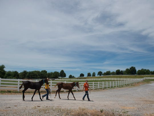 Summer interns Ashlyn Grogan, left, and Erika Jones lead weanlings to the barn after spending the morning in the pasture at Gumz Farms Tuesday afternoon.