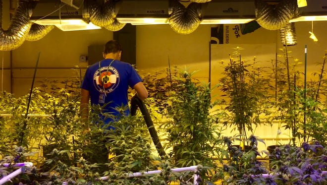 A worker at the Denver, Colo.-based 3D Cannabis Center vacuums water and dust from marijuana plants growing indoors under powerful lights designed to mimic the sun's rays.
