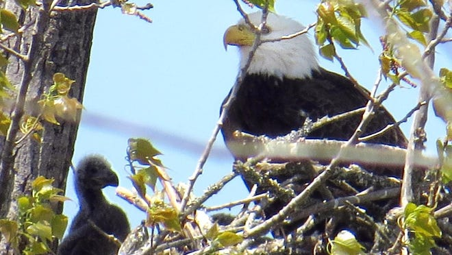 A bald eagle nests with its eaglet at Rankin Lake Park in Gastonia.