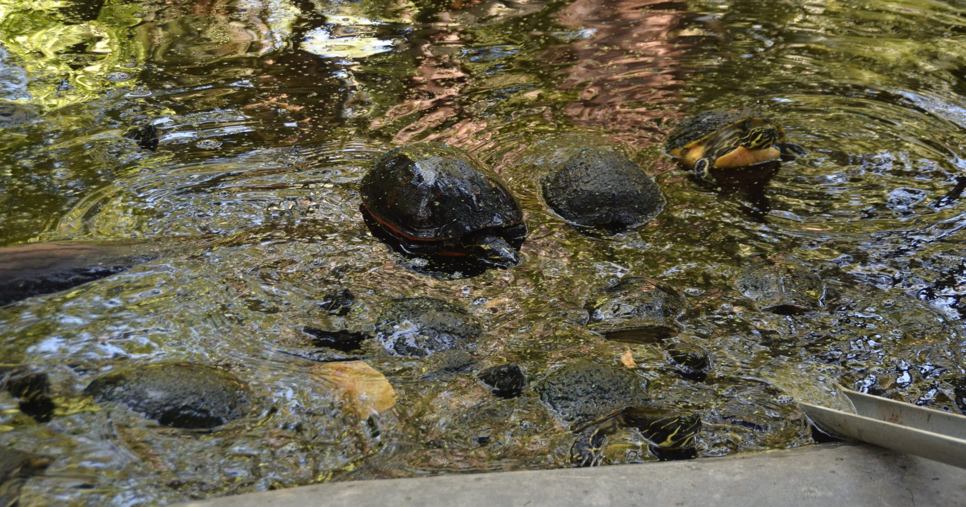 Volunteers come to aid of 20 turtles at Wonder Gardens