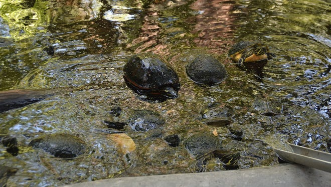 These yellow-eared sliders and red-bellied cooters have a new home thanks to volunteers at the Everglades Wonder Gardens in Bonita Springs.