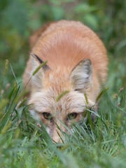 One of two red foxes named Copper and Vixen keeps a