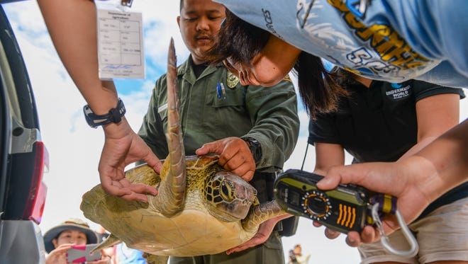 "In this file photo, CJ Cayanan, upper right corner, a wildlife biologist with the Guam Department of Agriculture's Division of Aquatics and Wildlife Resources, makes sure identification tags are properly secured on ""Valerie,"" a recovered green sea turtle, prior to its release back into the ocean at Gun Beach. The Western Pacific Regional Fishery Management Council recently told the Northern Marianas government that it can't harvest green sea turtles, even for cultural reasons."