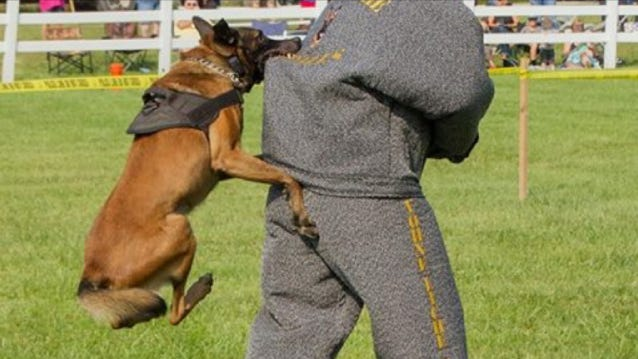 Tippecanoe County Community Correction K9 Vasco takes a bite out of a psuedo suspect at the K9 Olympics last week in Peru, Indiana. Vasco and his handler, Officer Jim Knogge, placed second in finding a person hidden in a building.