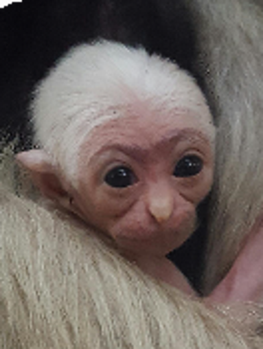 Baby Fisher, a rare pileated gibbon, was born at Wildlife
