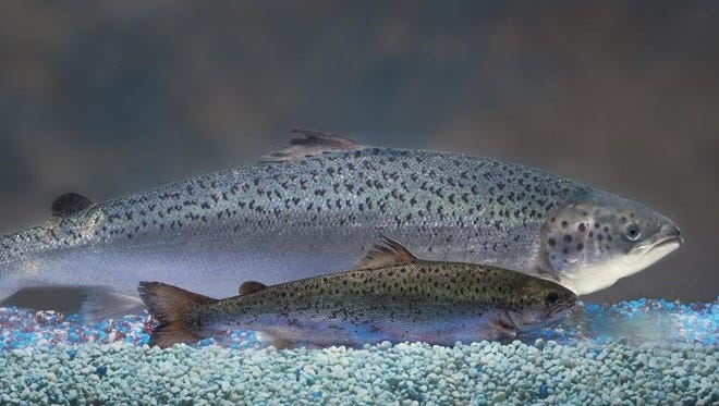 An AquAdvantage Salmon overshadows a non-genetically engineered sibling of the same age (12 months). Both reach the same size at maturity, but the smaller one will take twice as long to become AquAdvantage-size.