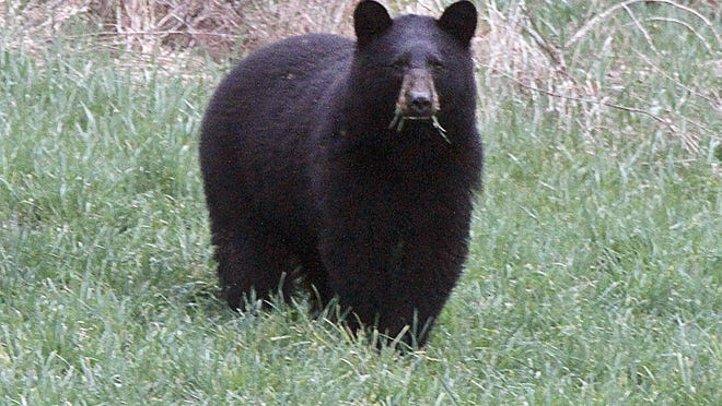 File photo of a black bear grazes in a field in Calais. The black bear population in northern New England is growing.