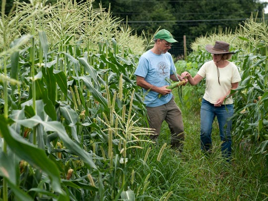 Jim Kinsel and Sherry Dudas, co-owners of Honey Brook (cq - two words) Farms in Chesterfield, walk through their organic corn field on Friday, August 22, 2014. Honey Brook is a certified organic farm, which prevents them from growing any genetically modified (GMO) crops.