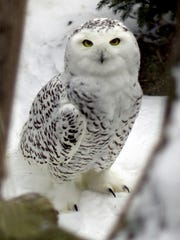 Lear about and search for winter owls at one of the Hudson Valley Nature Museum's Owl Prowls.